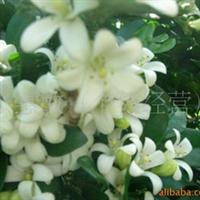 出售绿化树苗九里香树