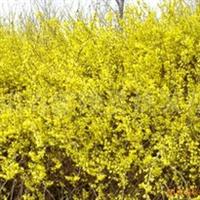 供应连翘 黄金带 花灌木