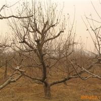 北京卖占地树占地果树苗占地绿化树苗买占地树的请联系