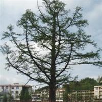 百年水杉古树直径达1.2米高度15-20米