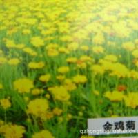 金鸡菊,牵牛,孔雀草,万寿菊等各种时令草花