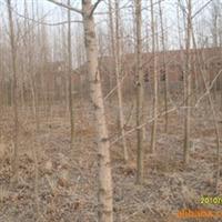 供应各种规格银杏树