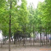 供应各种规格水杉树苗/栾树/黄山栾等各种绿化苗木
