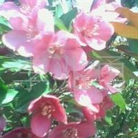 供应开心果树苗,长寿果、木瓜等种子、种苗,绿化苗木
