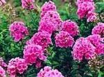 福禄考,醡浆草,金鸡菊,天人菊等各种宿根地被