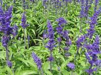 鼠尾草,黄金署,彩叶草,金鸡菊,黑心菊,地被菊,各种地被