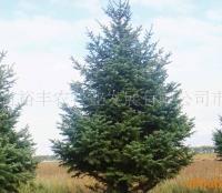 供应绿化苗木云杉