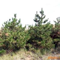 供应绿化苗木油松