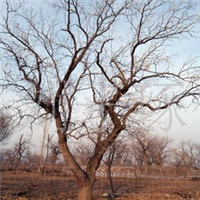 常年供应百年枣树8m主干4m
