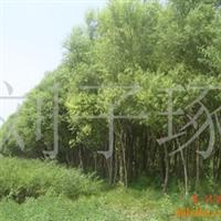 销售各种规格柳树10万