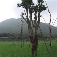 桂花  大树