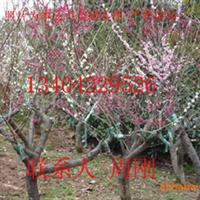 供应苏州花木市场、光福梅花、梅树桩、榆树桩、造型树