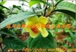 供应销售珍稀植物越南扦插苗金花茶小苗高约10-15公分