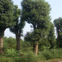 供应香樟苗木