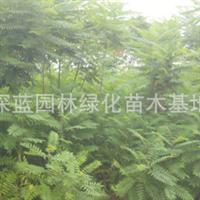 大量供应1-8CM绿化苗木火炬树木