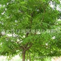 河北保定刺槐 刺槐树2-15公分 刺槐苗