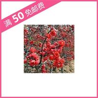 海棠品种 长寿冠 高档花卉 盆栽佳品 小苗 贴梗海棠 2年苗 3分支