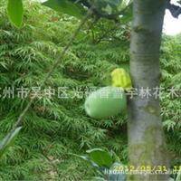 贴梗海棠 苏州销售 各种规格各个品种的海棠