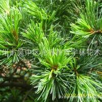 五针松 销售 优质绿化工程苗 盆景苗