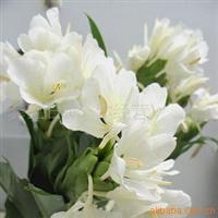 供应鲜花姜花