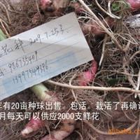 供应姜花种