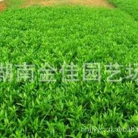 湖南花木苗木苗木供应大小叶栀子海栀子花球25公分扦插小苗