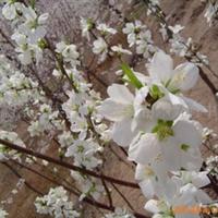 京桃树,国槐种子