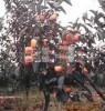 周口市低价大量出售各种规格优质柿子树苗