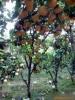 低价大量出售各种规格的优质梨树苗