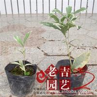 精品 名贵桂花品种 银边彩叶桂 两年-三年壮苗