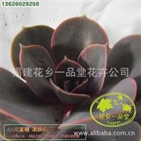 2012促销 盆栽花卉 精品多肉植物 观音莲 雪莲 金钱木 落地生根