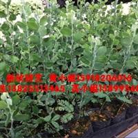 大量供应银叶金合欢苗,高20-30cm