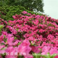 北京花木园苗圃基地出售月季/木槿/鸡蛋花/白檀/果树苗木