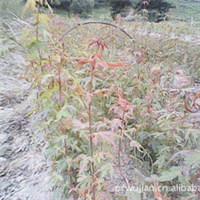 鸡爪槭 小叶鸡爪槭 鸡爪槭小苗 日本血红鸡爪槭 小叶鸡爪槭种苗