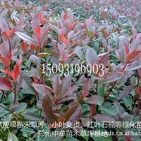 红叶石楠大苗-供应高杆红叶石楠绿篱