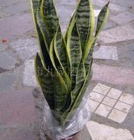 【室内植物】虎尾兰(虎皮兰)