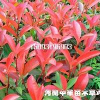 供应红叶石楠-出售红叶石楠-红叶石楠工程苗