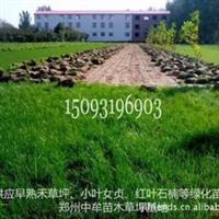 早熟禾草坪生产基地-供应早熟禾草坪