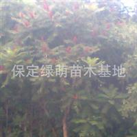 供应河北火炬树 保定火炬树 火炬树小苗