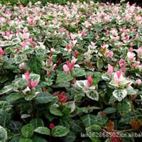 盆栽花叶络石 高度15cm—30cm 绿化苗木