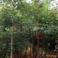 供应绿化苗木五角枫