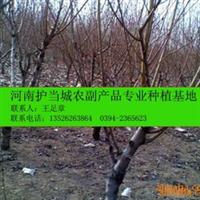 超低价大量供应4-10公分的桃树(占地用果树)
