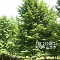 供应东昌含笑 采购绿化苗木 到江苏新河 长年供应各规格苗木