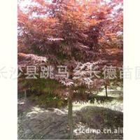苗圃基地批发销售红枫乔木,风景树、优质品
