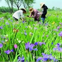 【荐】水生植物常绿水生鸢尾;单子叶植物纲、百合目、鸢尾科