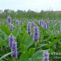 【荐】水生植物梭鱼草;别名北美梭鱼草、海寿花,雨久花科