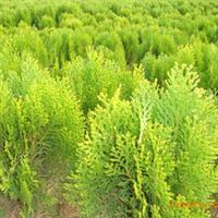 强盛苗圃大量供应 绿化苗木 洒金柏
