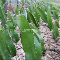 火龙果苗 盆栽 果树苗 台湾品种超甜红肉火龙果苗 40-50cm