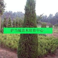 2010年低价大量供应1.8-2米高的河南桧柏