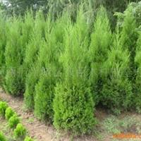 2011年春低价大量出售1-2.0米河南桧柏